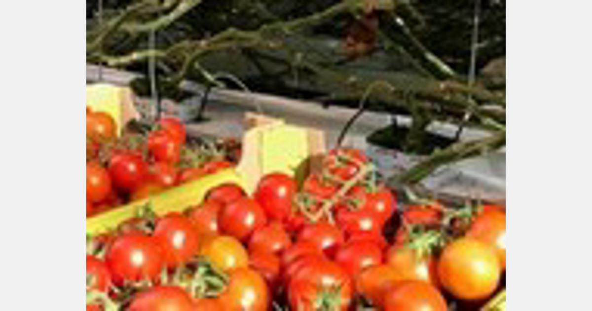 """""""Tomatenprijs op of zelfs boven vijfjaarsgemiddelde"""" - GroentenNieuws"""